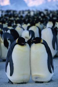 March of the Penguins - 8 x 10 Color Photo #2