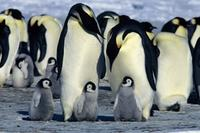 March of the Penguins - 8 x 10 Color Photo #9