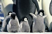 March of the Penguins - 8 x 10 Color Photo #11