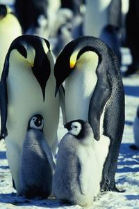 March of the Penguins - 8 x 10 Color Photo #13