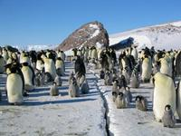 March of the Penguins - 8 x 10 Color Photo #15