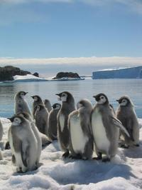 March of the Penguins - 8 x 10 Color Photo #22