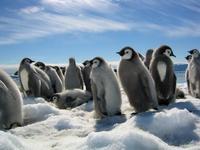 March of the Penguins - 8 x 10 Color Photo #23