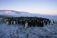 March of the Penguins - 8 x 10 Color Photo #27