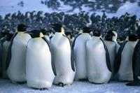 March of the Penguins - 8 x 10 Color Photo #37