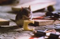 Mouse Hunt - 8 x 10 Color Photo #1