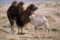The Story of the Weeping Camel - 8 x 10 Color Photo #3