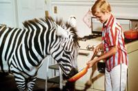 Zebra in the Kitchen - 8 x 10 Color Photo #8